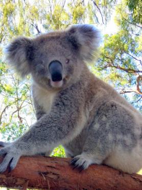 Koala Mary